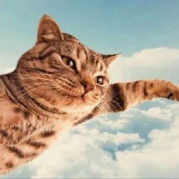 gato paracaidista o volador